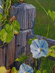 Morning Glory von Sandra Woods