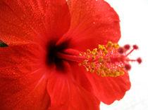 Chinese Hibiscus by Marina Dvinskykh