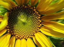 Sunflower by Marina Dvinskykh