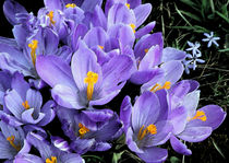 Crocus in bloom  von Sandra Woods