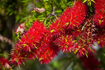 red bottlebrush flowers von Craig Lapsley