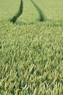 Wheat field by Lars Hallstrom