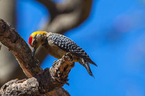 Woodpecker in a tree von Craig Lapsley