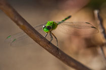 Green Dragon fly von Craig Lapsley