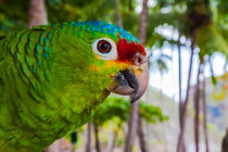 red-lored amazon parrot by Craig Lapsley