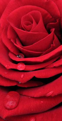 Red Rose Vertical von Roger Butler