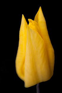 Yellow Tulip by John Biggadike