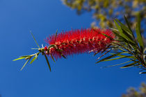 single crimson bottlebrush flower by Craig Lapsley