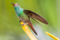 Hummingbird sitting with wing extended  von Craig Lapsley