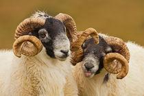 Pair of Rams von George Cox