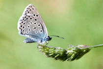 Large Blue von George Cox