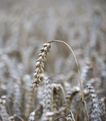 Barley von Nigel  Bangert