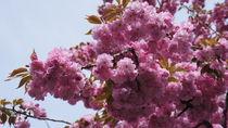 cherry blossom by Milena Zindovic