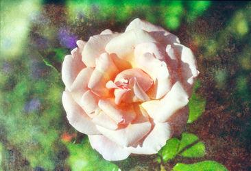 Old-rose1