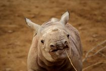 Nashorn-neu