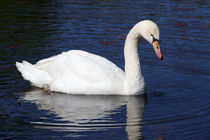 Beautiful white swan on blue background by Carl Tyer