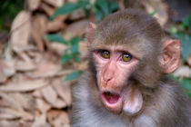 Young Rhesus Macaque with Food in Cheeks von serenityphotography