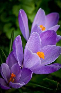 crocus flowers #5 by Pawel Bielawski