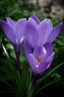 crocus flowers #3 by Pawel Bielawski