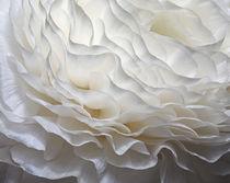 White Ranunculus Petals von Kim Haddon