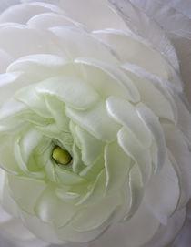 White Ranunculas Flower von Kim Haddon