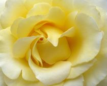 Yellow rose by sharon lisa clarke