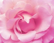 Soft pink rose von sharon lisa clarke