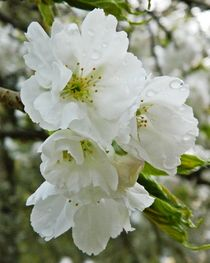 Rainkissed Blossom by sharon lisa clarke