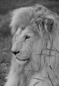 Lion in the grass by Renata Davies