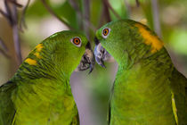 two yellow naped parrots von Craig Lapsley