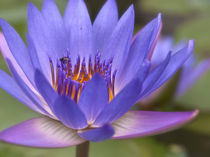 Blaue Lotosblume by Helga Sevecke
