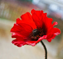 Poppy by Buster Brown Photography