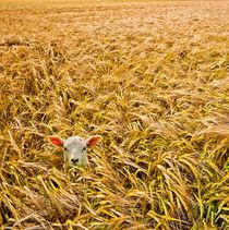 Lamb-in-wheat