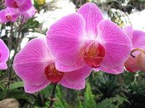 Altrosa Orchidee by dalmore