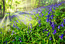 misty sunrise in the bluebells von meirion matthias