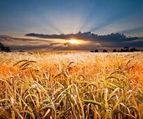 barley at sunset von meirion matthias