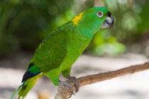 Yellow-naped-parrot-9243