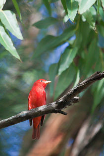 Red Summer Tanager  by Craig Lapsley