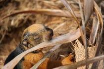 baby squirrel chewing a leaf von Craig Lapsley