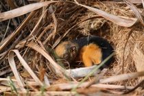 Baby squirrel asleep in nest von Craig Lapsley