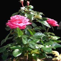 My red rose. by Bernd Vagt