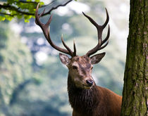 Red Deer Stag von Karen Appleyard