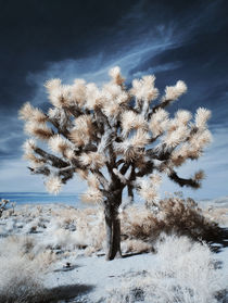 Joshua Tree - Infrared by Martin Krämer