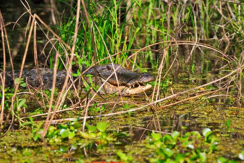 Alligator-female0003
