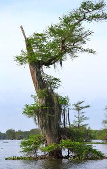 Atchafalaya Swamp von Louise Heusinkveld