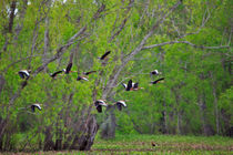 Whistling Ducks in Flight by Louise Heusinkveld