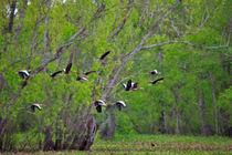 Whistling Ducks in Flight by Louise Heusinkveld