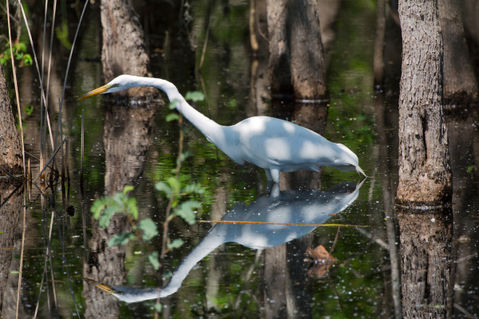Great-egret0046