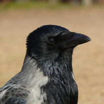 Nebelkrähe / Hooded Crow by Ralf Schröer