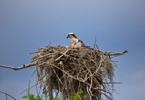 Osprey on Nest von Louise Heusinkveld